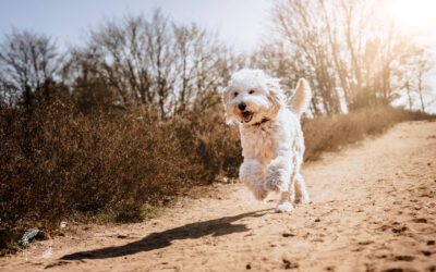 Flying Goldendoodle